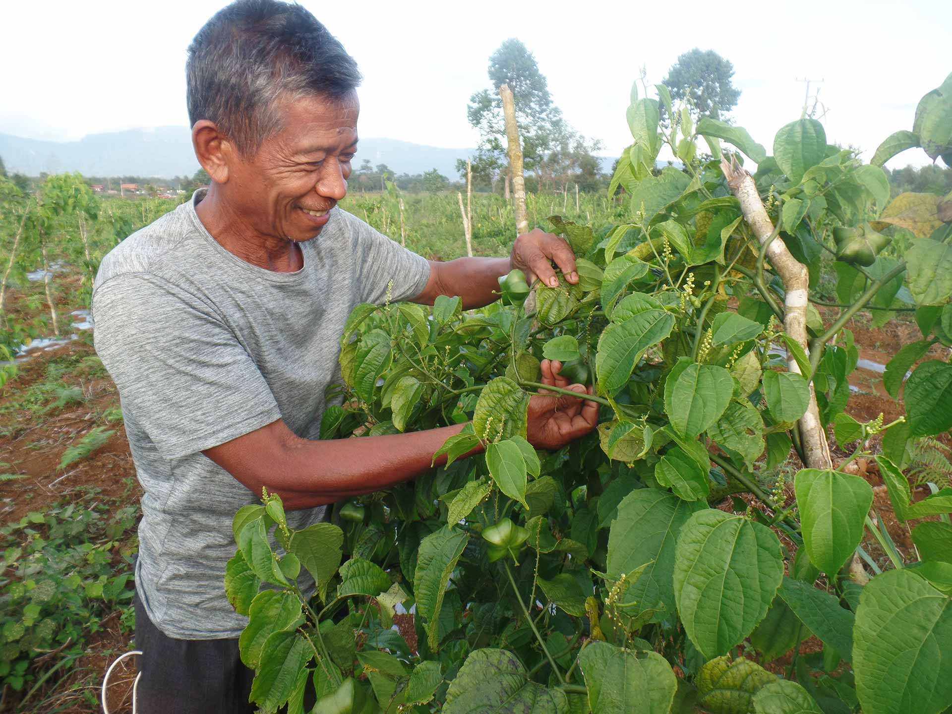 Lao farmer tending his crop