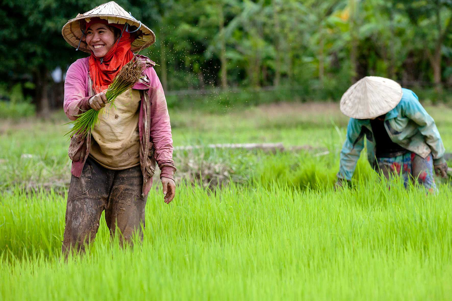 Lao women planting rice